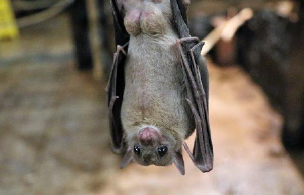 עטלפים, וירוסים ומה שביניהם